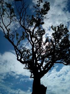 hawthorne bush