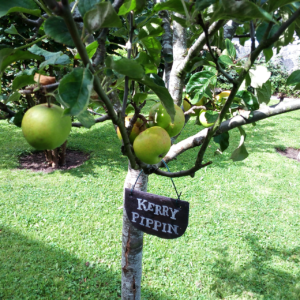 kerry pippin apples